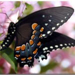 New Theme With 10 Beautiful Butterfly Desktop Wallpapers