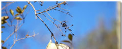Cedar Waxwing Wallpaper Theme With 10 Backgrounds