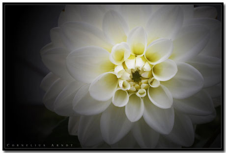 Dahlia Wallpaper Theme With 10 Backgrounds