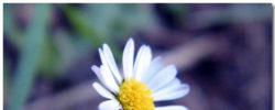 Daisy Wallpaper Theme With 10 Backgrounds