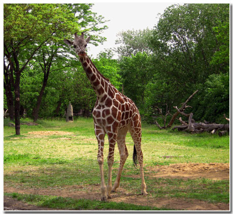 Giraffe Wallpaper Theme With 10 Backgrounds