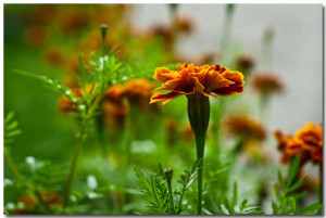 Marigold Wallpaper Theme With 10 Backgrounds