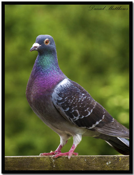 10 Beautiful Pigeon Wallpapers Plus Themepack
