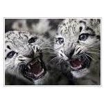 snow leopards jpg
