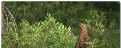 Spruce Grouse Wallpaper Theme With 10 Backgrounds