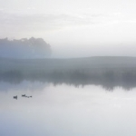 Ducks-on-a-Misty-Pond