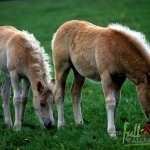 Animal_Horse_horse+wallpaper-horse-24