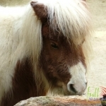 Animal_Horse_horse+wallpaper-horse-25
