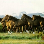 Animal_Horse_horse+wallpaper-horse-26